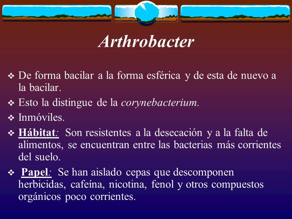 Arthrobacter De forma bacilar a la forma esférica y de esta de nuevo a la bacilar.