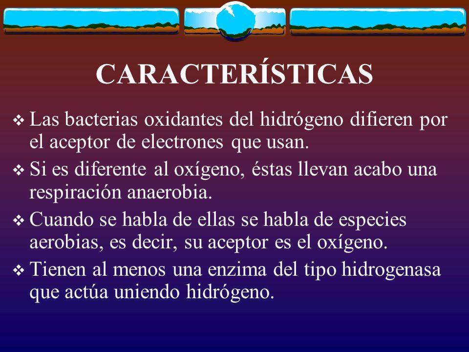 DIFERENCIAS Los quimiolitotrofos del azufre o las bacterias nitrificantes son en su mayoría quimiolitotrofos estrictos.