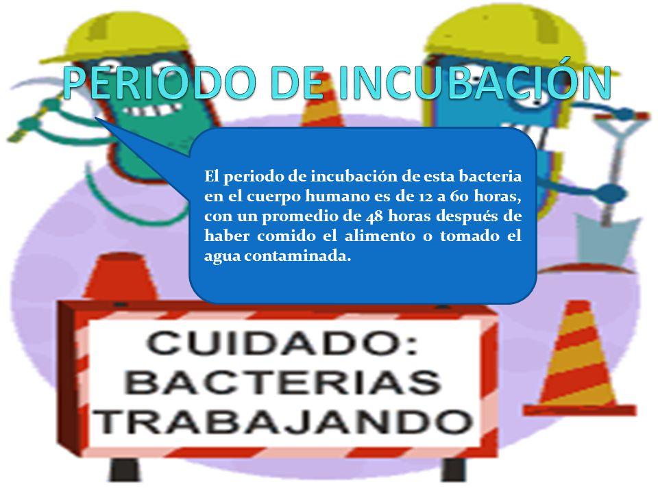 El periodo de incubación de esta bacteria en el cuerpo humano es de 12 a 60 horas, con un promedio de 48 horas después de haber comido el alimento o t