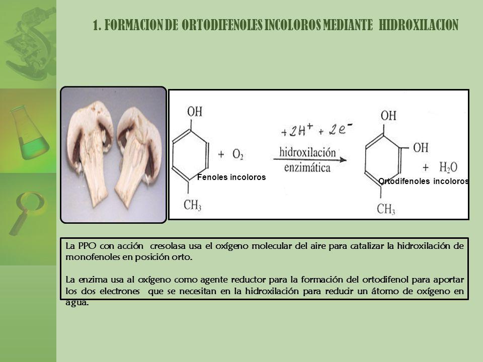 1. FORMACION DE ORTODIFENOLES INCOLOROS MEDIANTE HIDROXILACION La PPO con acción cresolasa usa el oxígeno molecular del aire para catalizar la hidroxi