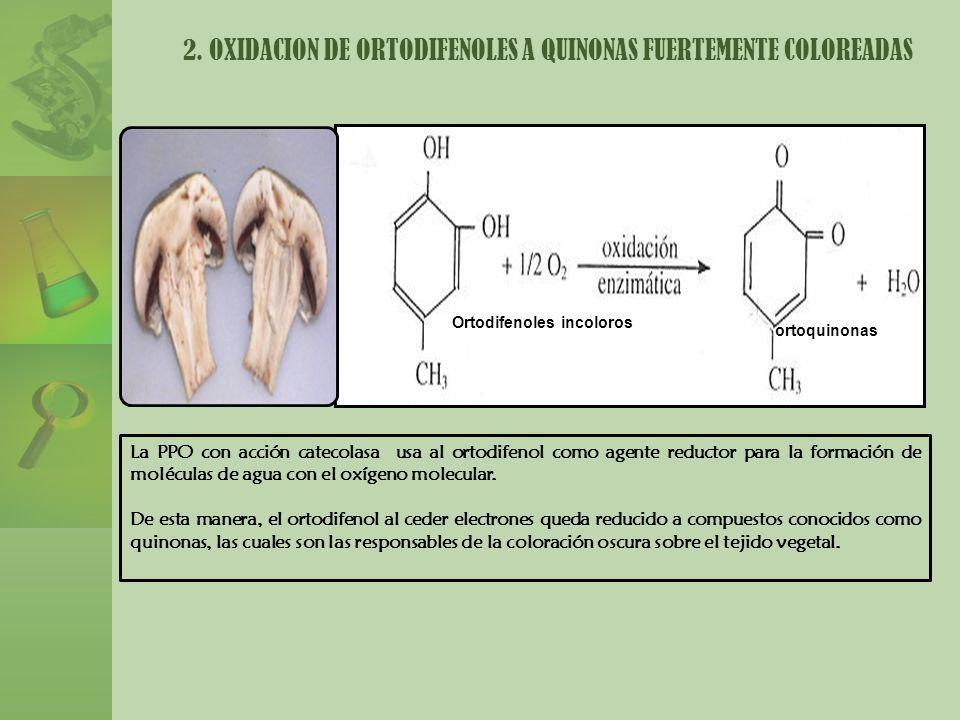 2. OXIDACION DE ORTODIFENOLES A QUINONAS FUERTEMENTE COLOREADAS La PPO con acción catecolasa usa al ortodifenol como agente reductor para la formación