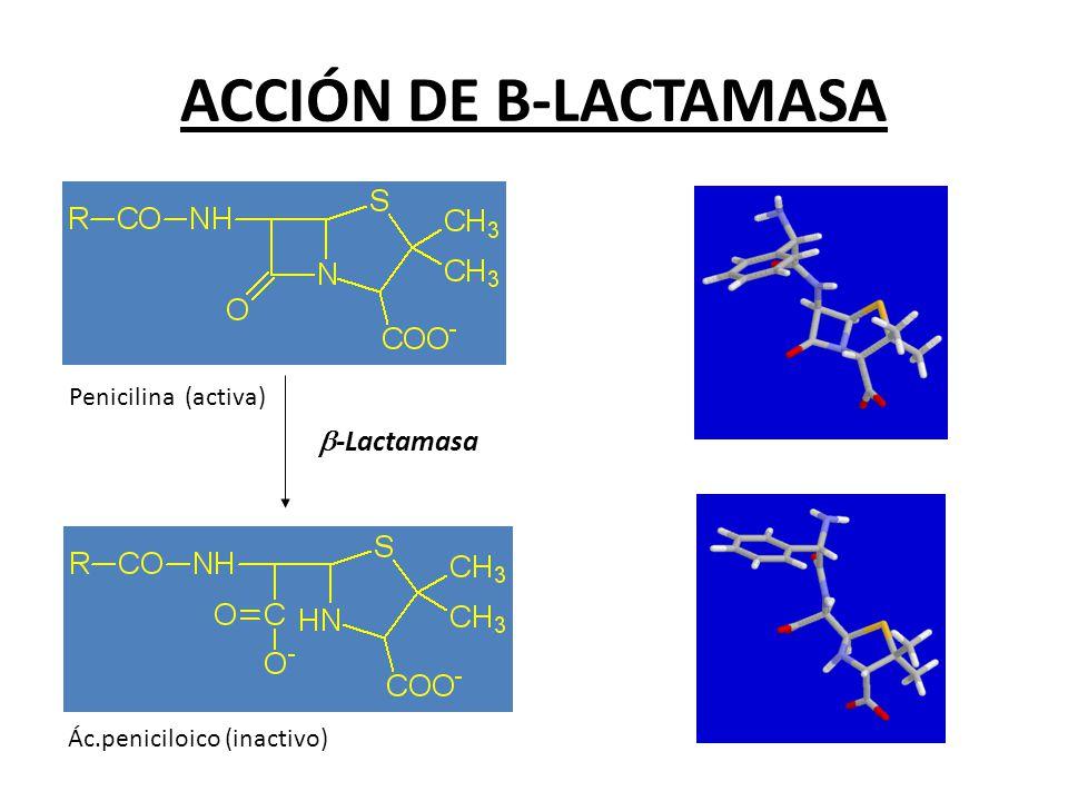 ACCIÓN DE B-LACTAMASA Ác.peniciloico (inactivo) Penicilina (activa) -Lactamasa