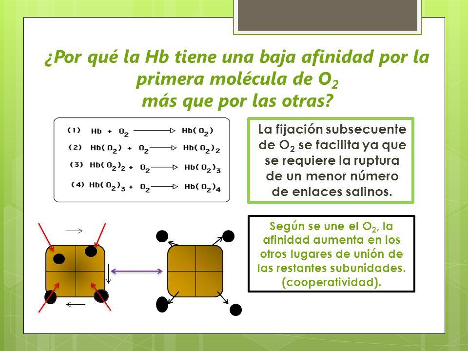 La fijación subsecuente de O 2 se facilita ya que se requiere la ruptura de un menor número de enlaces salinos. ¿Por qué la Hb tiene una baja afinidad