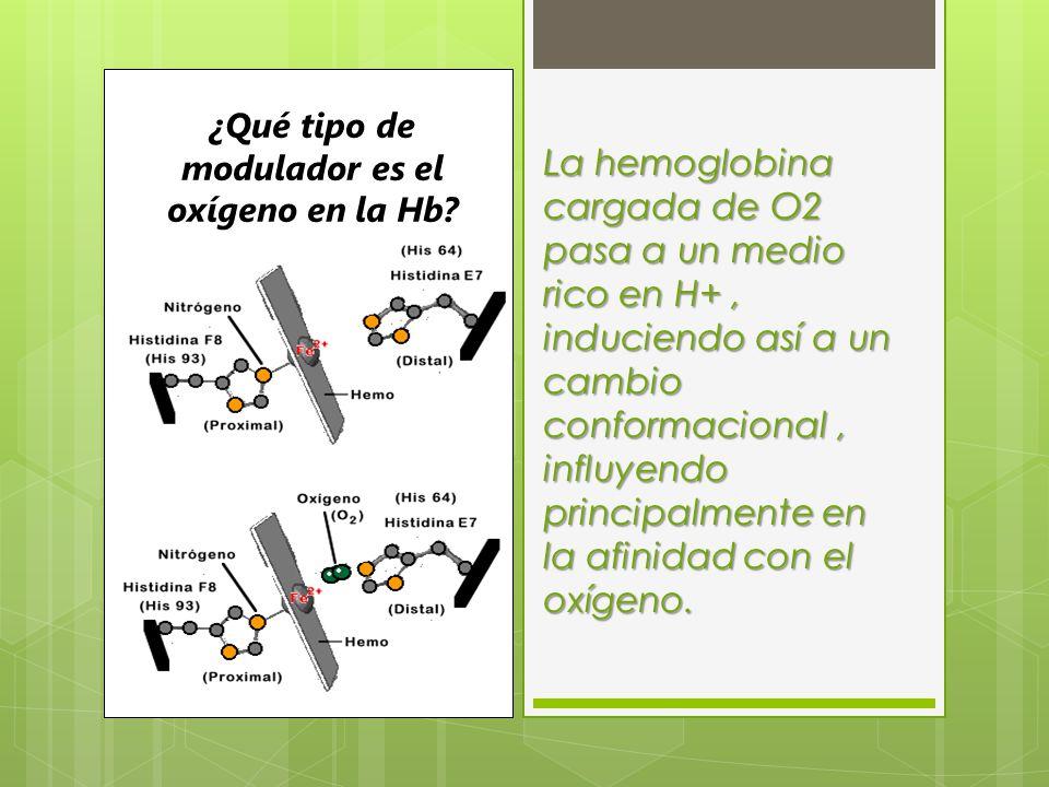 ¿Qué tipo de modulador es el oxígeno en la Hb? La hemoglobina cargada de O2 pasa a un medio rico en H+, induciendo así a un cambio conformacional, inf