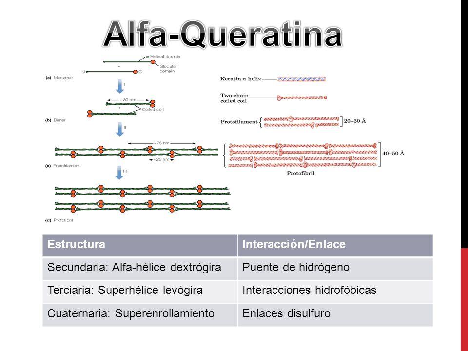 EstructuraInteracción/Enlace Secundaria: Alfa-hélice dextrógiraPuente de hidrógeno Terciaria: Superhélice levógiraInteracciones hidrofóbicas Cuaternaria: SuperenrollamientoEnlaces disulfuro