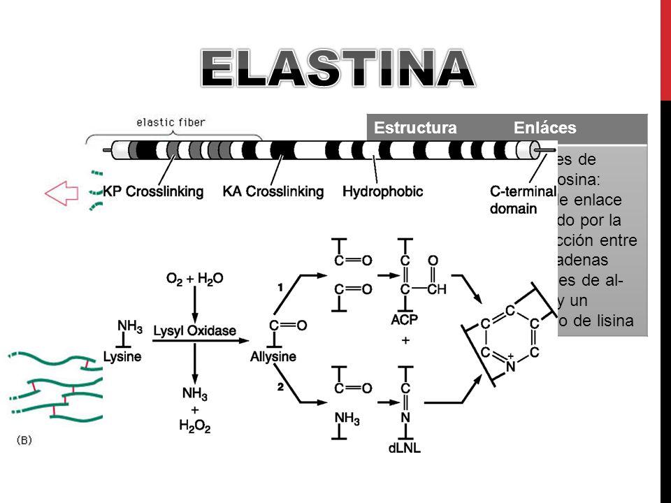 EstructuraEnláces Cadena de dímeros de tropomiosina Enlaces de Desmosina: Tipo de enlace formado por la interacción entre tres cadenas laterales de al- lisina y un residuo de lisina
