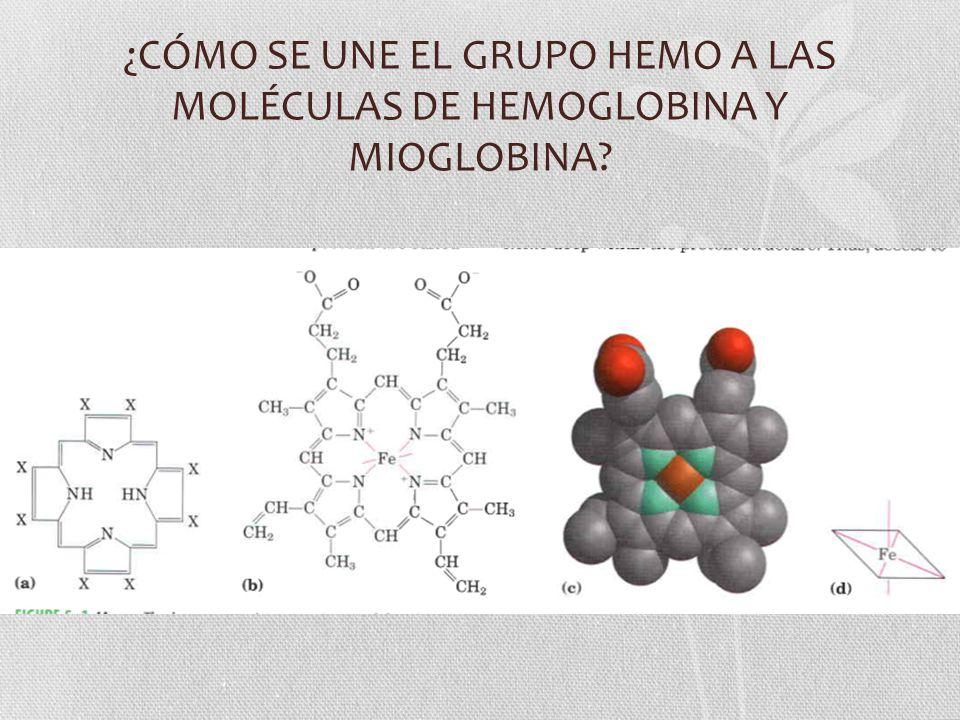 ¿CÓMO SE UNE EL GRUPO HEMO A LAS MOLÉCULAS DE HEMOGLOBINA Y MIOGLOBINA?