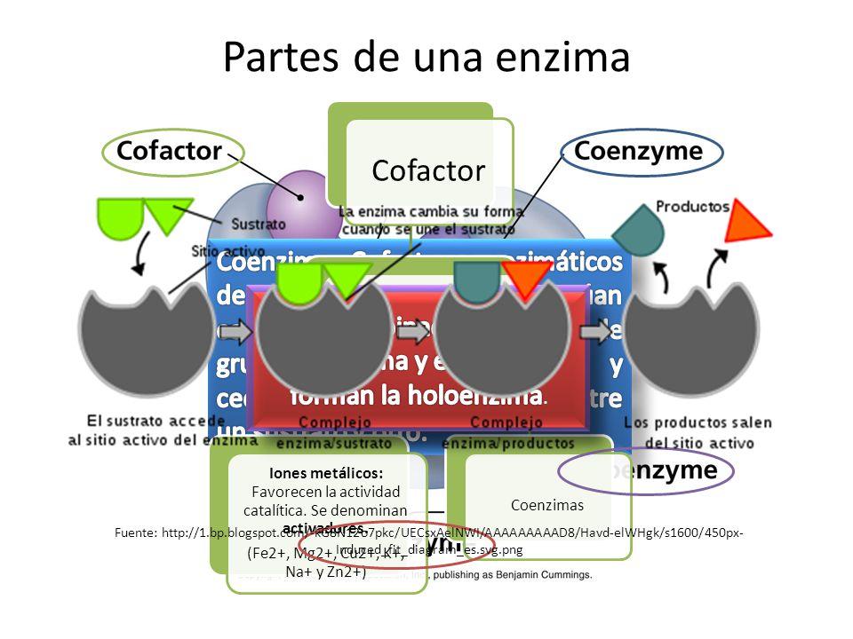 Partes de una enzima Cofactor Son moléculas pequeñas de naturaleza orgánica o inorgánica que representan la parte no proteica de la enzima. Iones metá