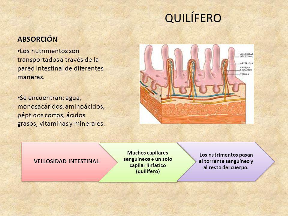 ABSORCIÓN QUILÍFERO Los nutrimentos son transportados a través de la pared intestinal de diferentes maneras. Se encuentran: agua, monosacáridos, amino