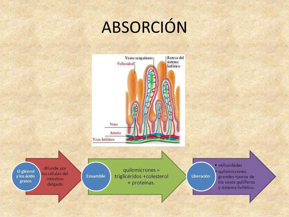 ABSORCIÓN difunde por las células del intestino delgado El glicerol y los ácido grasos quilomicrones = triglicéridos +colesterol + proteínas. Ensamble