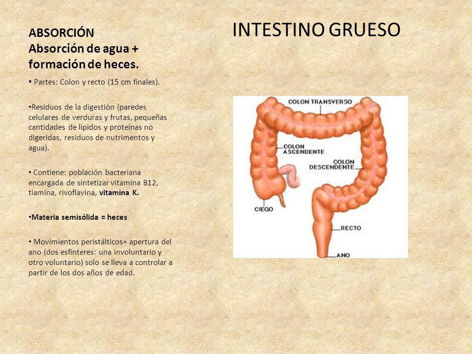 ABSORCIÓN Absorción de agua + formación de heces. INTESTINO GRUESO Partes: Colon y recto (15 cm finales). Residuos de la digestión (paredes celulares