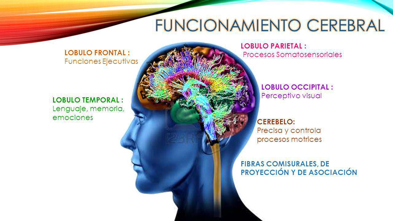 LOBULO FRONTAL : Funciones Ejecutivas LOBULO PARIETAL : Procesos Somatosensoriales LOBULO TEMPORAL : Lenguaje, memoria, emociones LOBULO OCCIPITAL : P