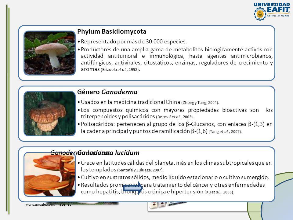Phylum Basidiomycota Representado por más de 30.000 especies. Productores de una amplia gama de metabolitos biológicamente activos con actividad antit