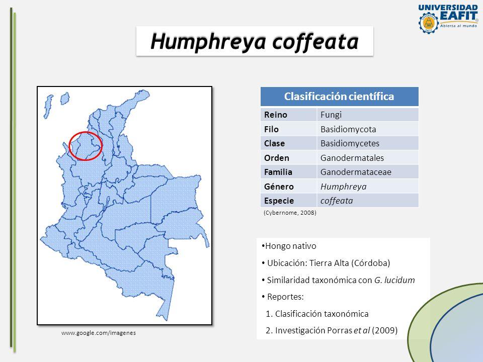 Hongo nativo Ubicación: Tierra Alta (Córdoba) Similaridad taxonómica con G. lucidum Reportes: 1. Clasificación taxonómica 2. Investigación Porras et a