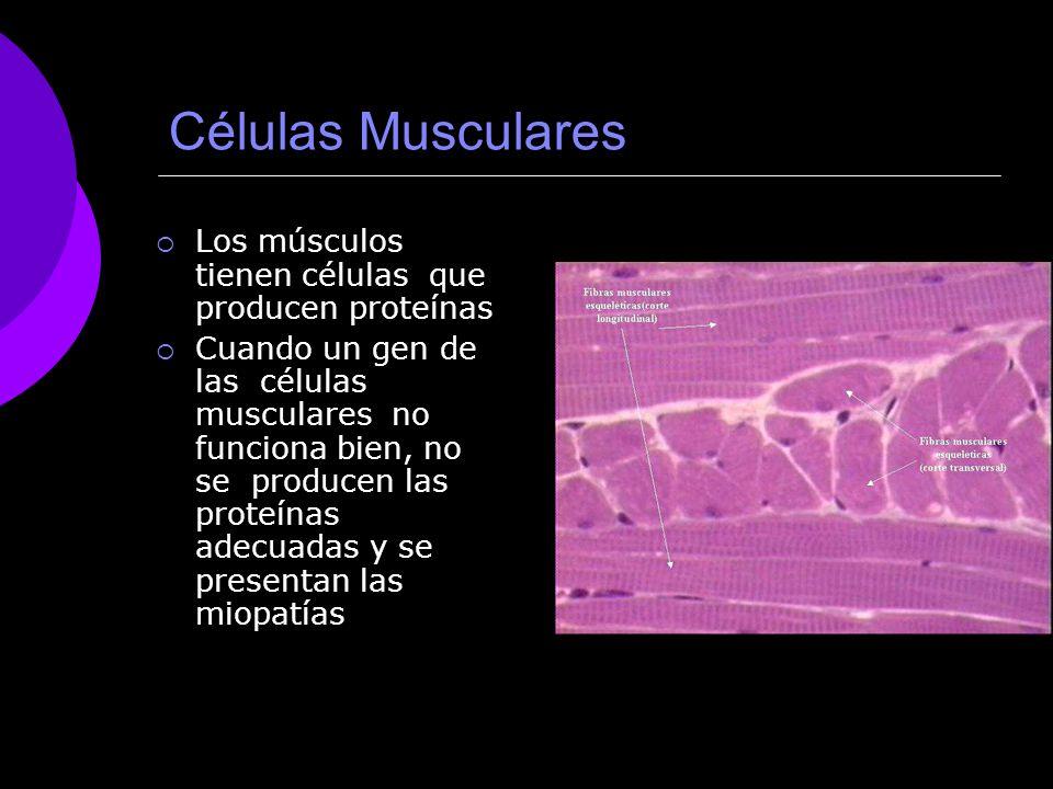 Células Musculares Los músculos tienen células que producen proteínas Cuando un gen de las células musculares no funciona bien, no se producen las pro