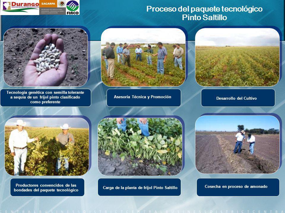 Tecnología genética con semilla tolerante a sequía de un fríjol pinto clasificado como preferente Cosecha en proceso de amonado Asesoría Técnica y Pro