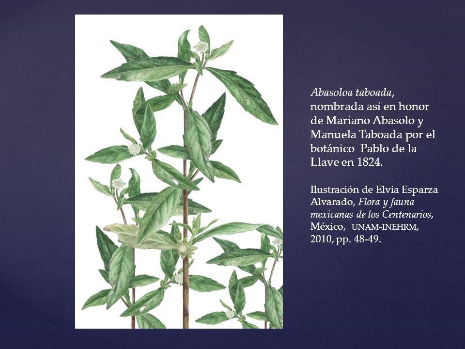 Abasoloa taboada, nombrada así en honor de Mariano Abasolo y Manuela Taboada por el botánico Pablo de la Llave en 1824. Ilustración de Elvia Esparza A