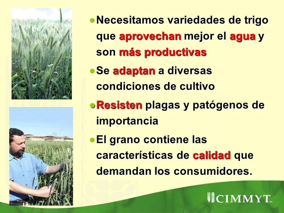 Necesitamos variedades de trigo que aprovechan mejor el agua y son más productivas Necesitamos variedades de trigo que aprovechan mejor el agua y son