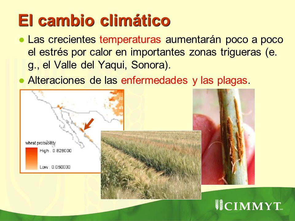 El cambio climático Las crecientes temperaturas aumentarán poco a poco el estrés por calor en importantes zonas trigueras (e. g., el Valle del Yaqui,
