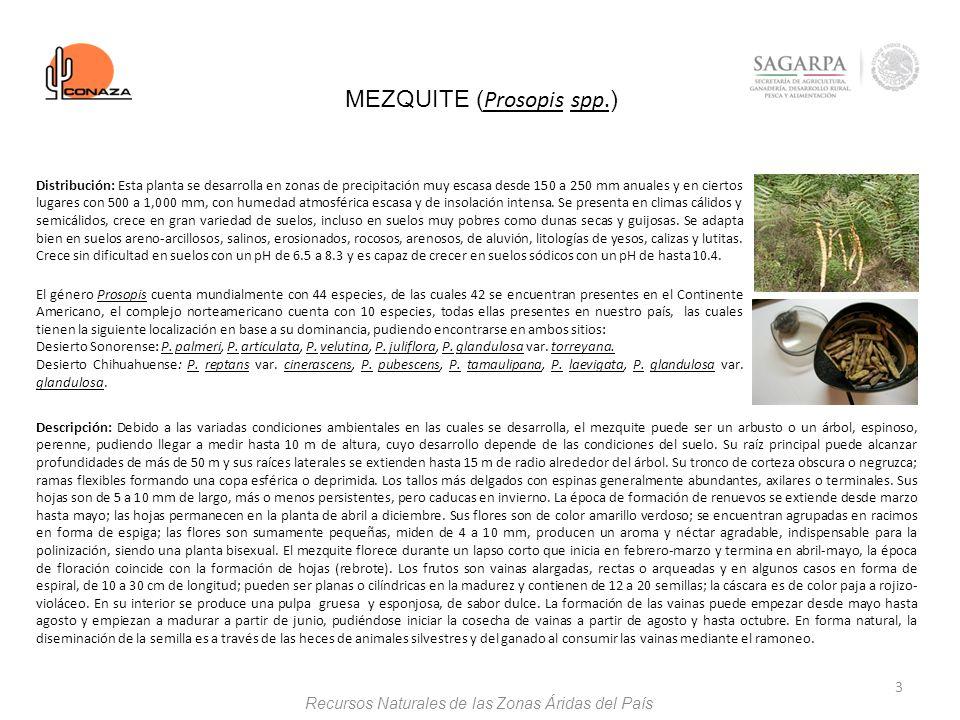 3 MEZQUITE ( Prosopis spp. ) Descripción: Debido a las variadas condiciones ambientales en las cuales se desarrolla, el mezquite puede ser un arbusto