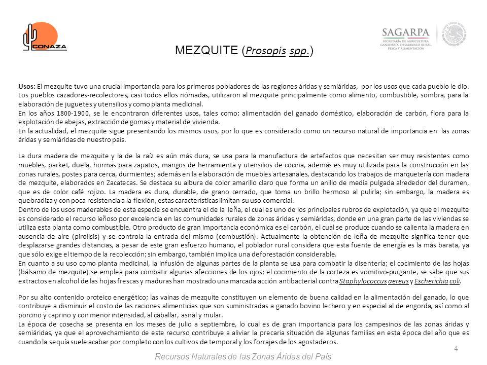 4 MEZQUITE ( Prosopis spp. ) Usos: El mezquite tuvo una crucial importancia para los primeros pobladores de las regiones áridas y semiáridas, por los
