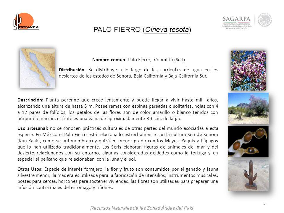 5 PALO FIERRO (Olneya tesota) Nombre común: Palo Fierro, Coomitin (Seri) Distribución: Se distribuye a lo largo de las corrientes de agua en los desie