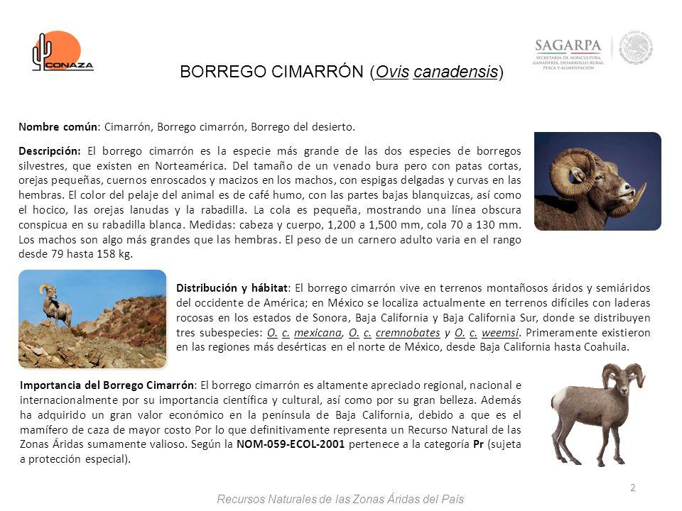 2 BORREGO CIMARRÓN (Ovis canadensis) Distribución y hábitat: El borrego cimarrón vive en terrenos montañosos áridos y semiáridos del occidente de Amér