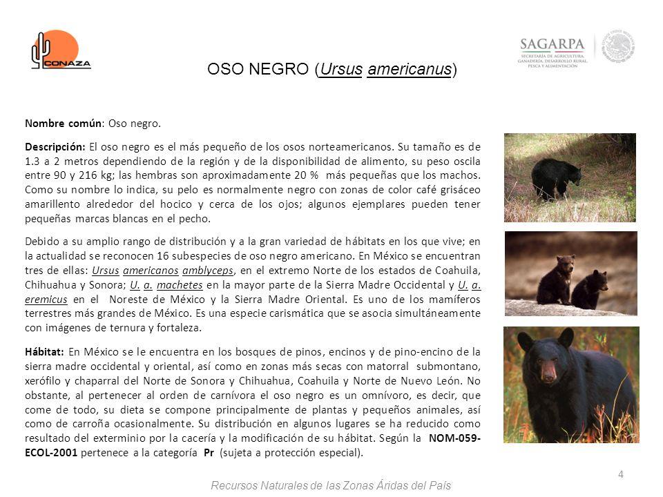 4 OSO NEGRO (Ursus americanus) Nombre común: Oso negro. Descripción: El oso negro es el más pequeño de los osos norteamericanos. Su tamaño es de 1.3 a