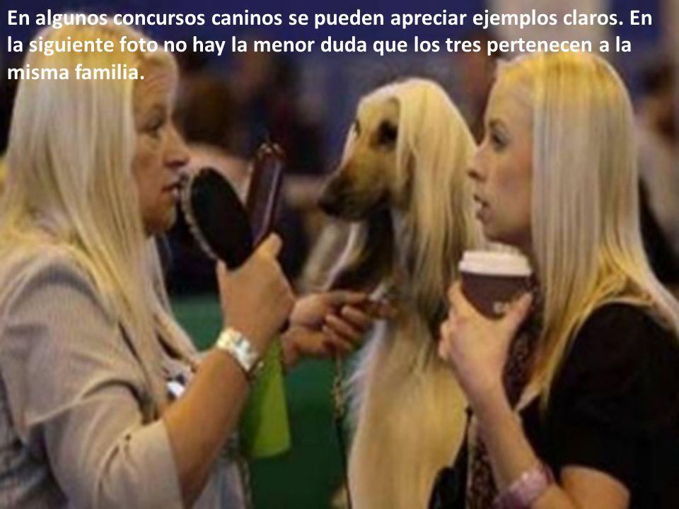 En algunos concursos caninos se pueden apreciar ejemplos claros. En la siguiente foto no hay la menor duda que los tres pertenecen a la misma familia.