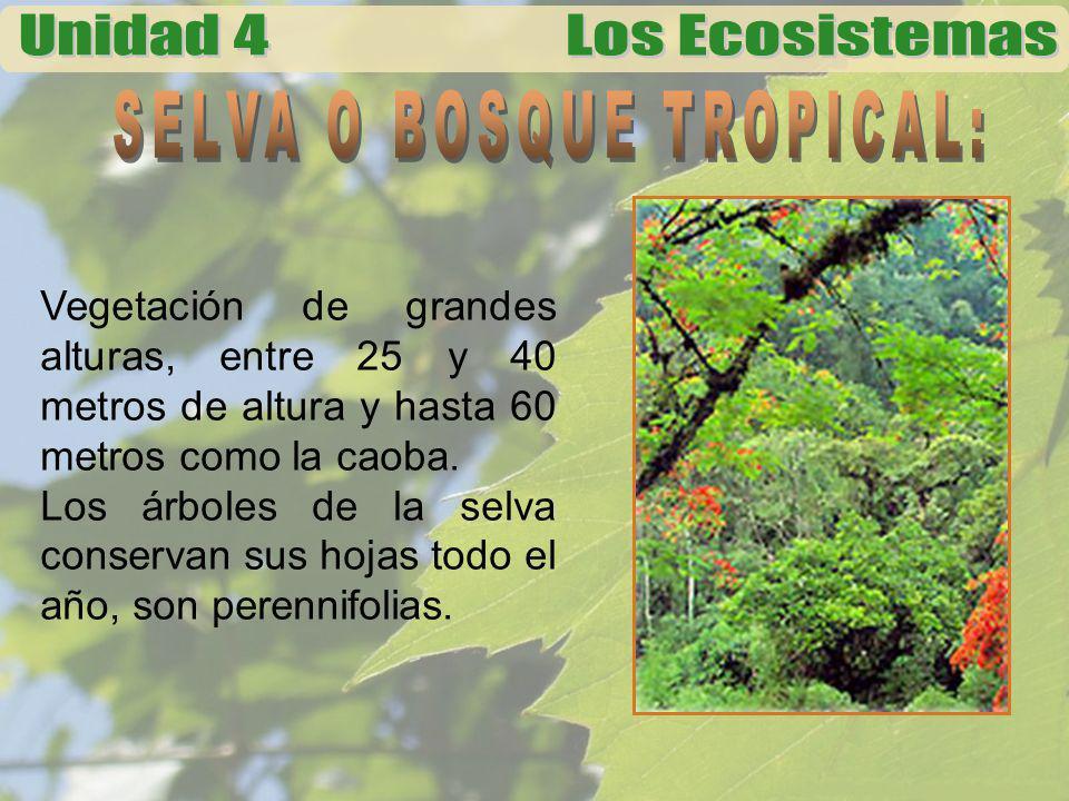 Vegetación de grandes alturas, entre 25 y 40 metros de altura y hasta 60 metros como la caoba. Los árboles de la selva conservan sus hojas todo el año