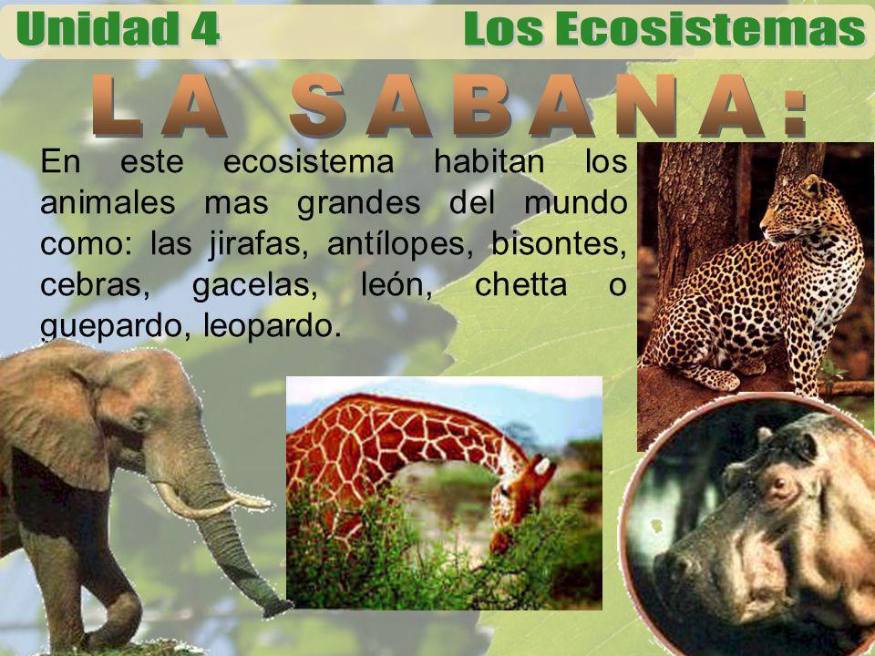 En este ecosistema habitan los animales mas grandes del mundo como: las jirafas, antílopes, bisontes, cebras, gacelas, león, chetta o guepardo, leopar