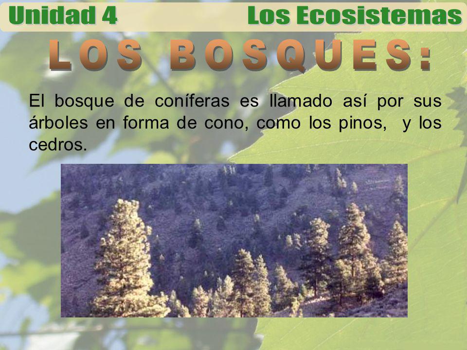 El bosque de coníferas es llamado así por sus árboles en forma de cono, como los pinos, y los cedros.