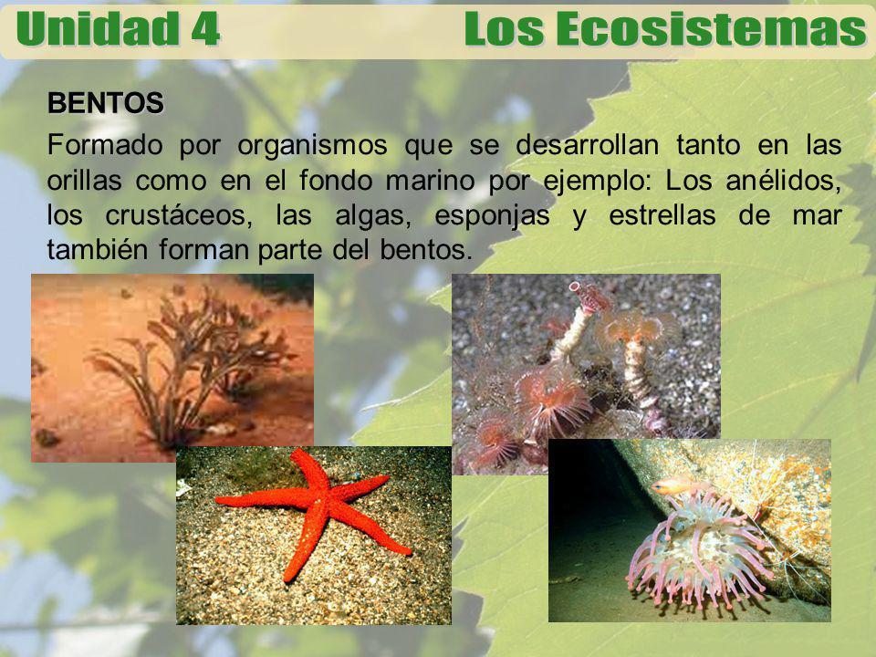 BENTOS Formado por organismos que se desarrollan tanto en las orillas como en el fondo marino por ejemplo: Los anélidos, los crustáceos, las algas, es