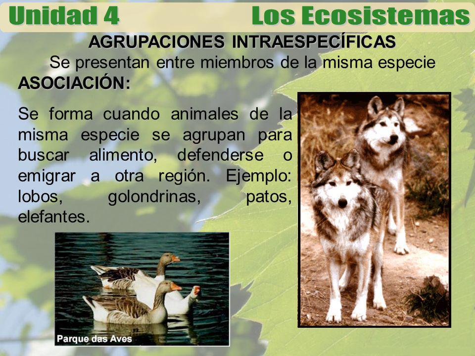 AGRUPACIONES INTRAESPECÍFICAS Se presentan entre miembros de la misma especie ASOCIACIÓN: Se forma cuando animales de la misma especie se agrupan para