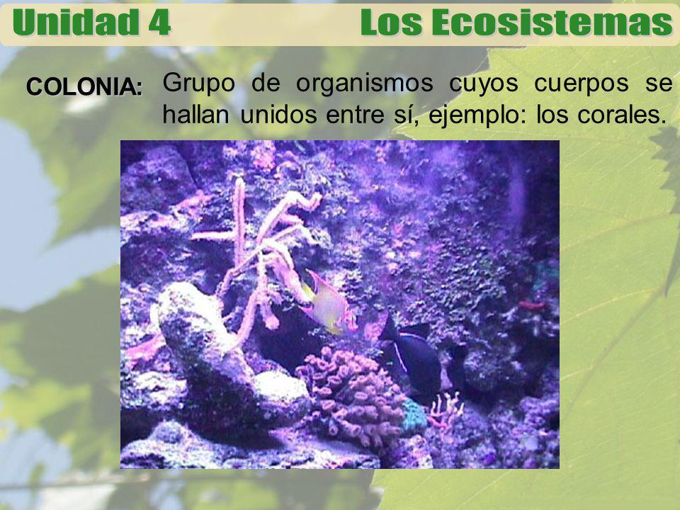 COLONIA: Grupo de organismos cuyos cuerpos se hallan unidos entre sí, ejemplo: los corales.