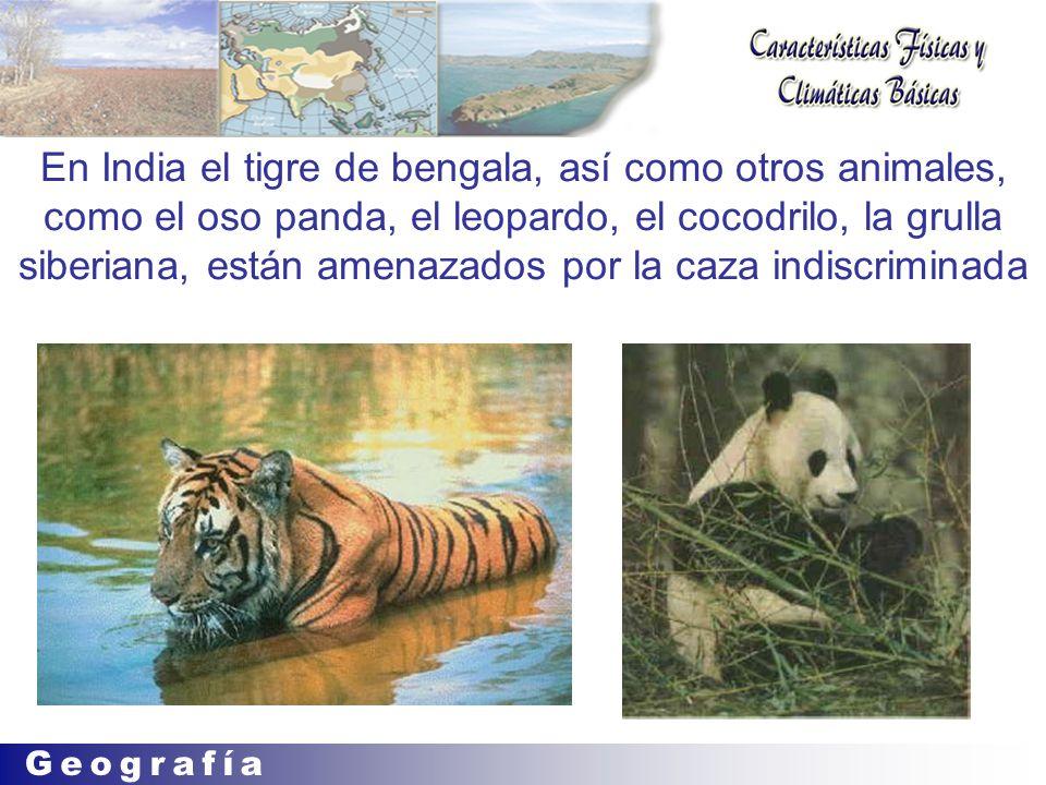 En India el tigre de bengala, así como otros animales, como el oso panda, el leopardo, el cocodrilo, la grulla siberiana, están amenazados por la caza indiscriminada