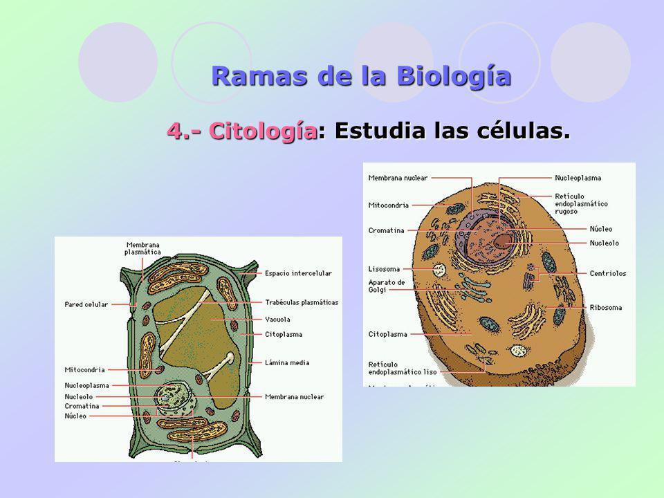 Ramas de la Biología 4.- Citología: Estudia las células.