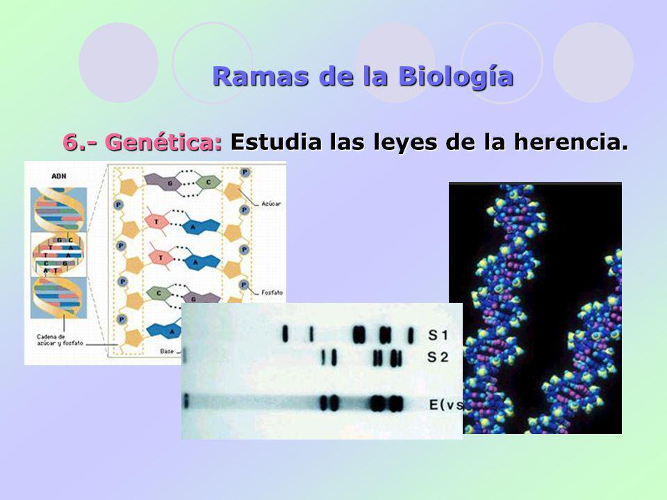 Ramas de la Biología 6.- Genética: Estudia las leyes de la herencia.