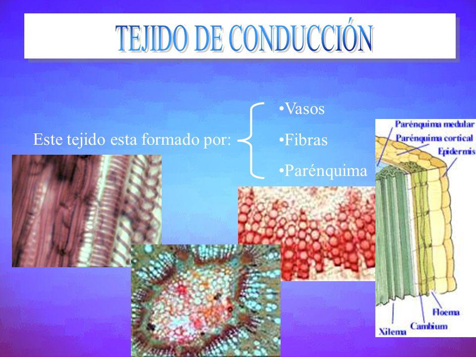 Este tejido esta formado por: Vasos Fibras Parénquima