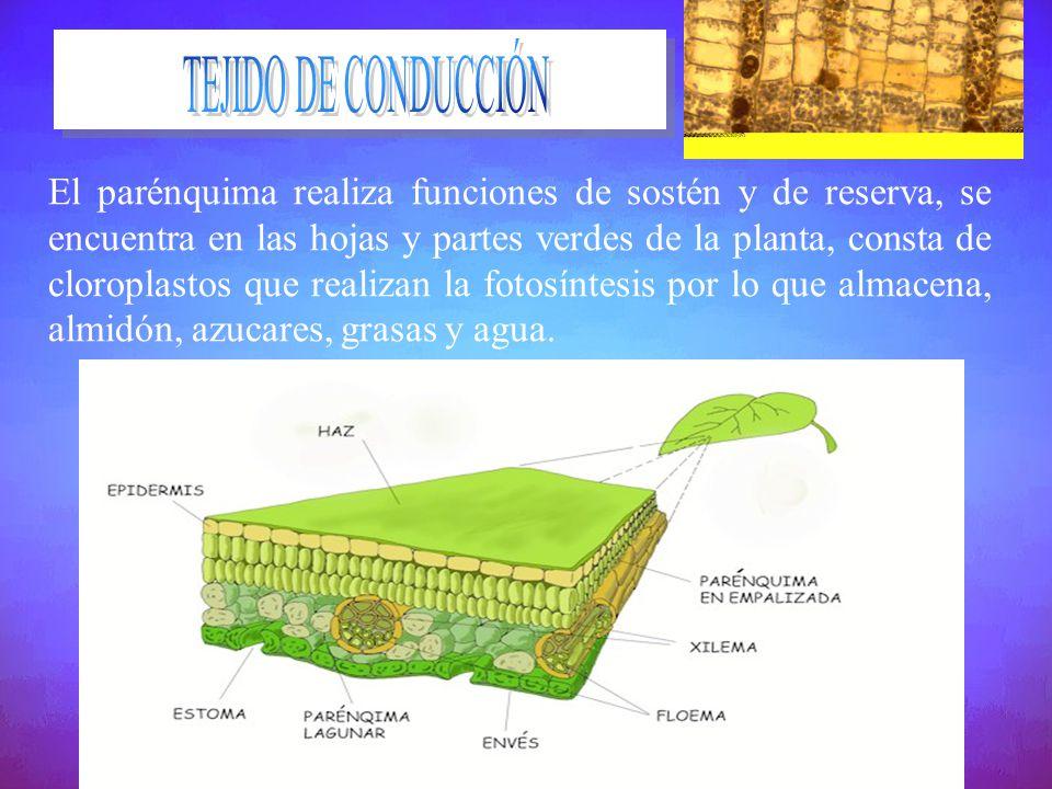 El parénquima realiza funciones de sostén y de reserva, se encuentra en las hojas y partes verdes de la planta, consta de cloroplastos que realizan la