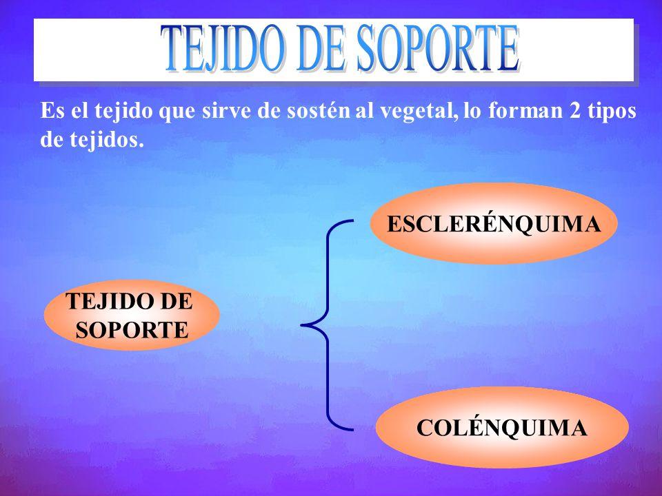 Es el tejido que sirve de sostén al vegetal, lo forman 2 tipos de tejidos. TEJIDO DE SOPORTE ESCLERÉNQUIMA COLÉNQUIMA