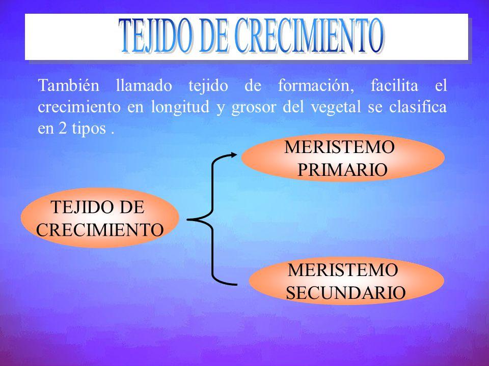 También llamado tejido de formación, facilita el crecimiento en longitud y grosor del vegetal se clasifica en 2 tipos. TEJIDO DE CRECIMIENTO MERISTEMO