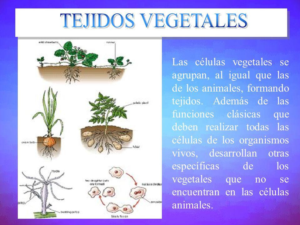 Las células vegetales se agrupan, al igual que las de los animales, formando tejidos. Además de las funciones clásicas que deben realizar todas las cé