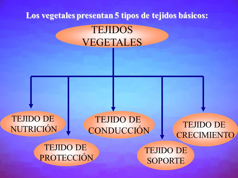 TEJIDOS VEGETALES Los vegetales presentan 5 tipos de tejidos básicos: TEJIDO DE PROTECCIÓN TEJIDO DE CONDUCCIÓN TEJIDO DE SOPORTE TEJIDO DE CRECIMIENT