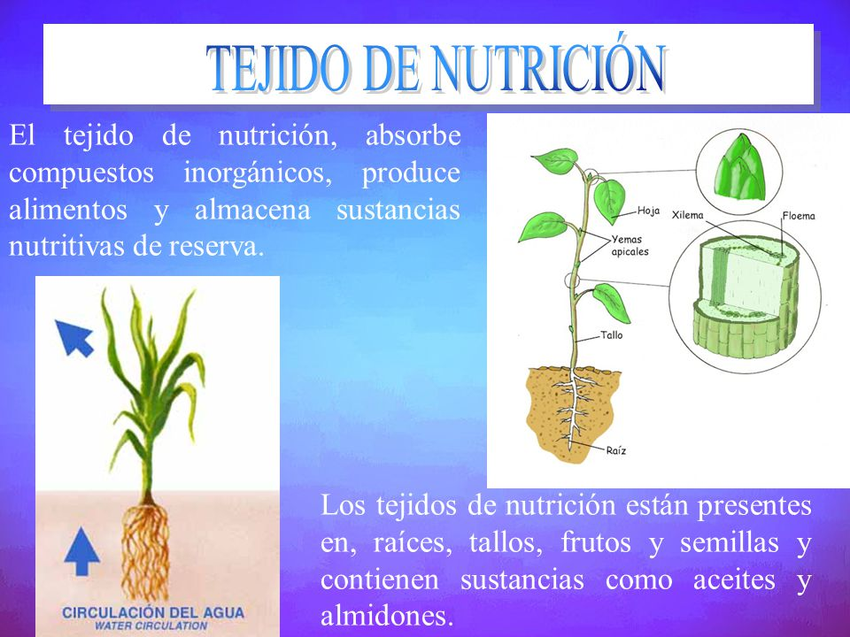 El tejido de nutrición, absorbe compuestos inorgánicos, produce alimentos y almacena sustancias nutritivas de reserva. Los tejidos de nutrición están