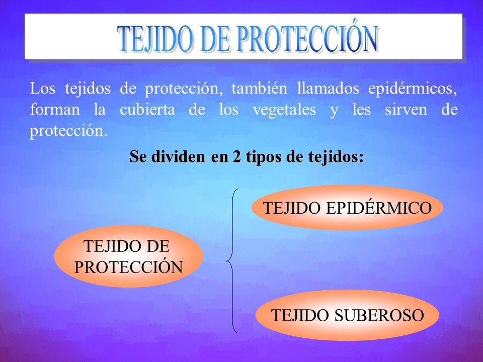 Los tejidos de protección, también llamados epidérmicos, forman la cubierta de los vegetales y les sirven de protección. Se dividen en 2 tipos de teji