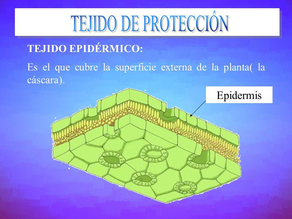 TEJIDO EPIDÉRMICO: Es el que cubre la superficie externa de la planta( la cáscara). Epidermis