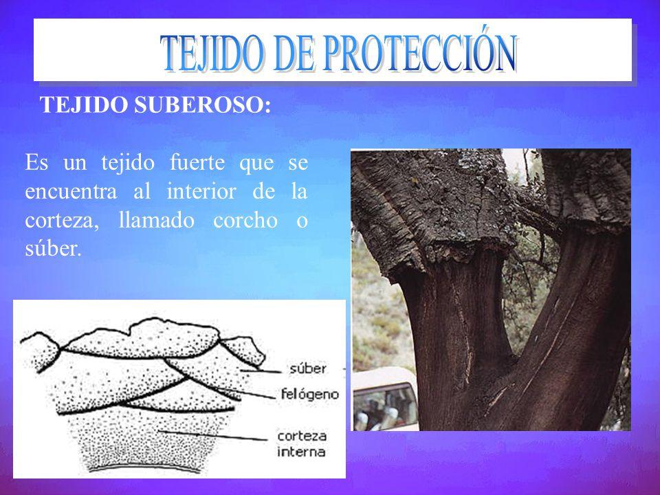 TEJIDO SUBEROSO: Es un tejido fuerte que se encuentra al interior de la corteza, llamado corcho o súber.