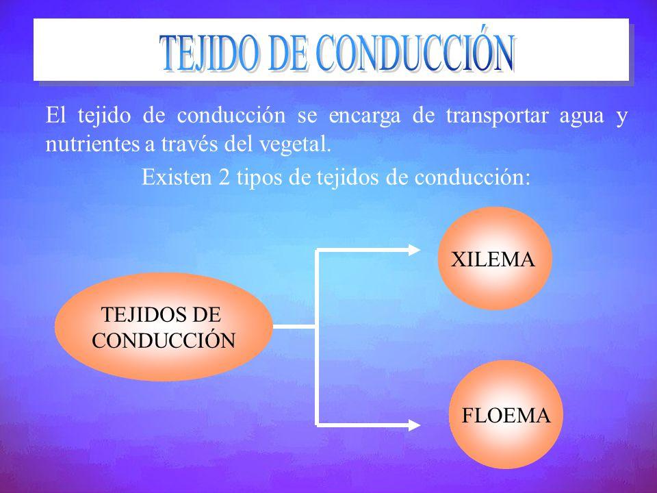 El tejido de conducción se encarga de transportar agua y nutrientes a través del vegetal. Existen 2 tipos de tejidos de conducción: TEJIDOS DE CONDUCC