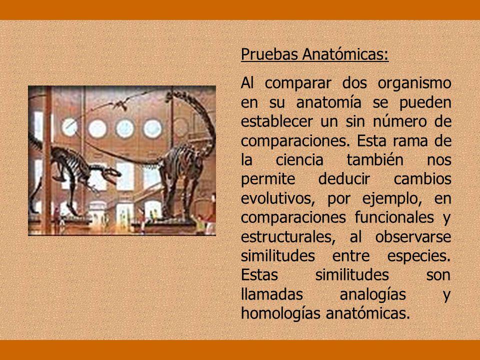 Pruebas Anatómicas: Al comparar dos organismo en su anatomía se pueden establecer un sin número de comparaciones.